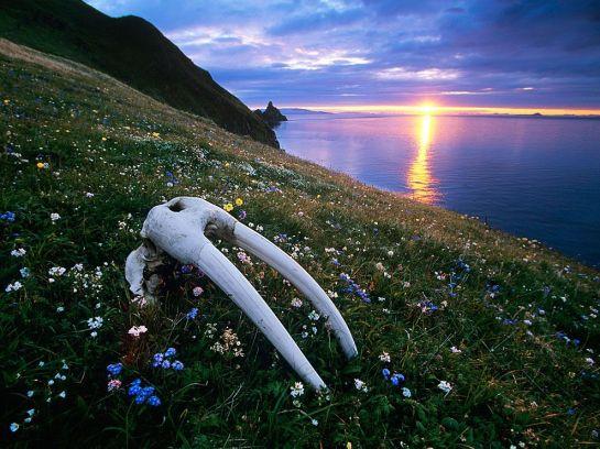 walrus-skull-bristol-bay-melford_40989_990x742